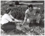 Mr. and Mrs. Cairnes in their victory garden harvesting strawberries