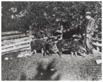 A. L. Robinette at his farm with two hogs