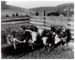 Cattle from New Mexico test site