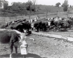 Cattle from New Mexico test site near a farmhouse