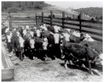 Gray-haired cows from New Mexico