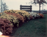 Chrysanthemums at Ridgewood Park